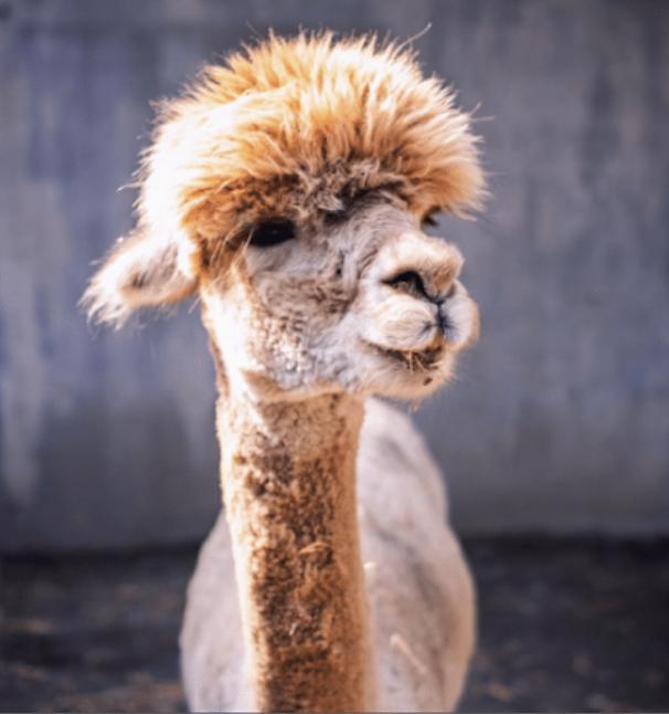 alpaca cool